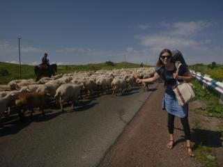 Hitchihiking among sheep, Armenia